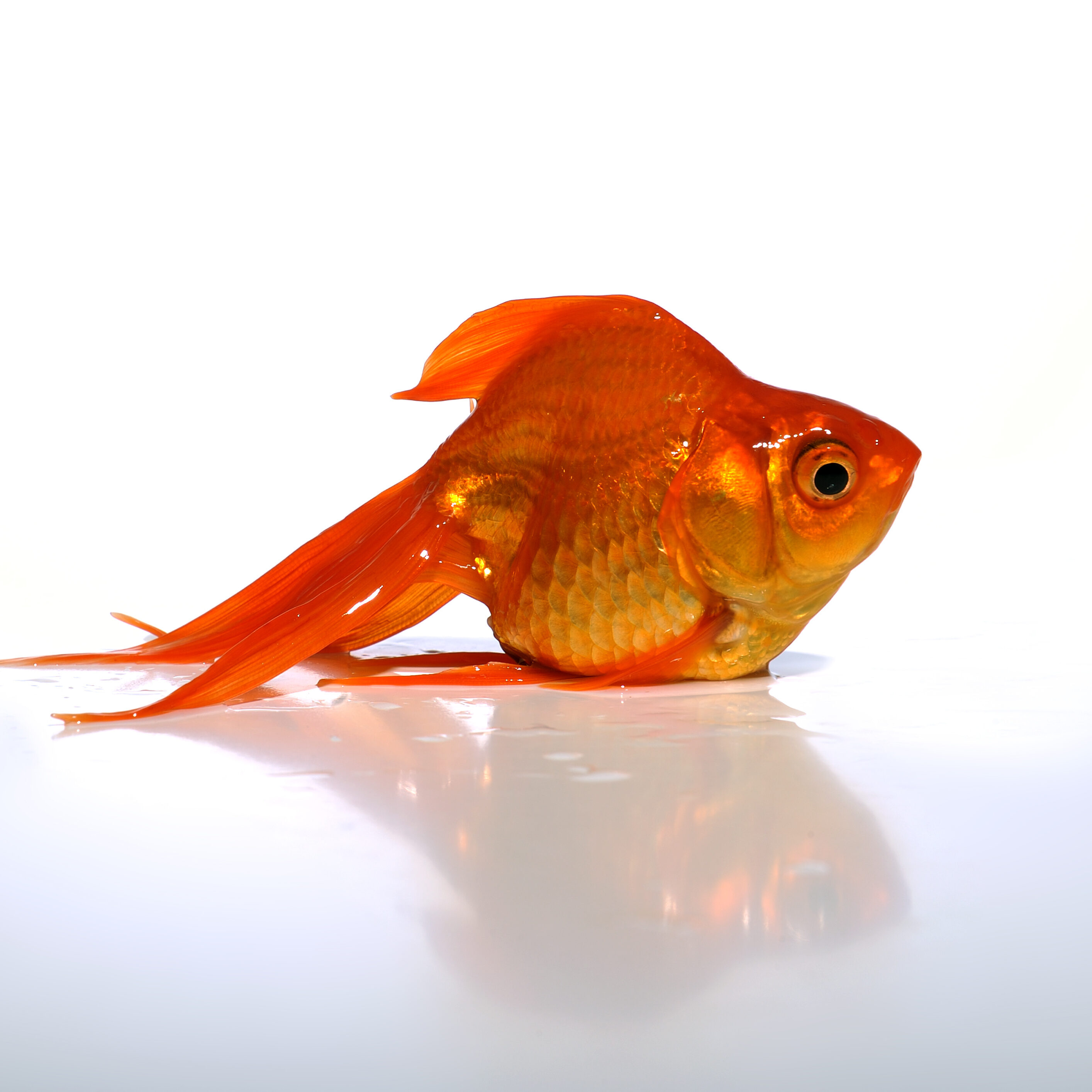 Goldfish standing on a white table